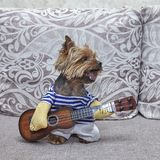 Psi Yorkshire terier który bawić się gitarę ukulele fotografia royalty free