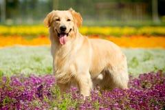 psi złoty aporter obraz royalty free