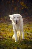 psi złoty aporter zdjęcia royalty free