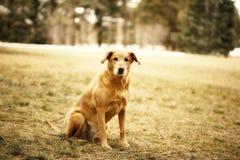 psi złoty aporter obrazy royalty free
