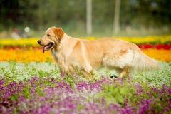 psi złoty aporter Obrazy Stock