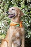 Psi złoty aporter Fotografia Royalty Free