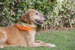 Psi złoty aporter Zdjęcie Royalty Free