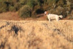 psi zarodowy pointer zdjęcia royalty free