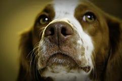 psi zbliżenie nos zdjęcie stock