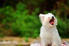 psi ziewanie fotografia stock