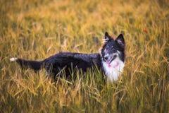 Psi zwierzę domowe w polu Zdjęcia Stock