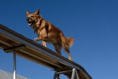 Psi zwinność psa spacer Obrazy Stock