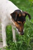 Psia łasowanie trawa zdjęcie royalty free