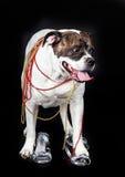 Psia amerykańska buldog moda na czarnym tle fotografia stock