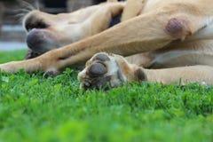 psia łapa s Zdjęcia Stock