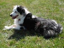 psia australijski shepherd Fotografia Royalty Free