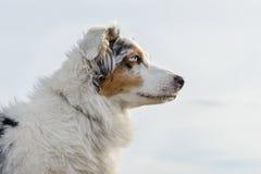 psia australijski shepherd Obraz Royalty Free