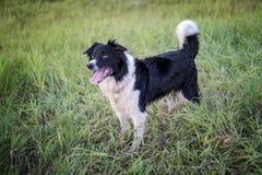 psia australijski shepherd Zdjęcia Royalty Free
