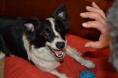 psia australijski shepherd fotografia stock