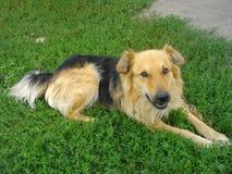 Psia baca na zielonej trawie gazon kłama zdjęcia stock