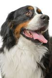 psia bernese góry Fotografia Stock