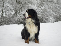 psia bernese góry Obraz Stock