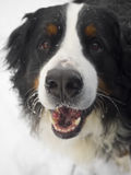 psia bernese góry Obrazy Stock