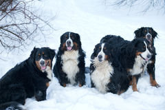 psia bernese góry Obraz Royalty Free