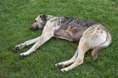 psia choroba obraz royalty free