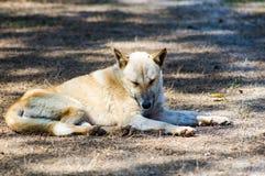 psia choroby zdjęcie royalty free