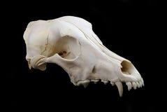 psia czaszka Zdjęcie Stock