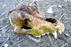 Psia czaszka Fotografia Royalty Free