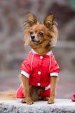 psia czerwień Zdjęcia Stock