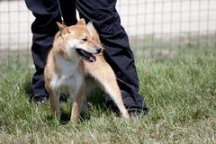psia czerwień Zdjęcie Stock