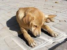 Psia czytelnicza gazeta zdjęcia royalty free