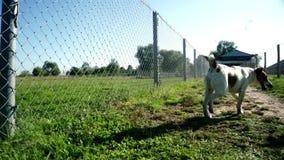Psia działająca trawa na tła bydlęcia gospodarstwie rolnym Psów bieg zamknięty up zbiory