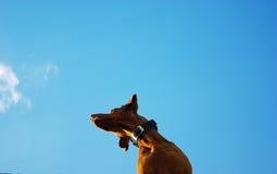 Psia głowa Zdjęcie Stock