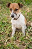 psia jack Russell Obrazy Stock