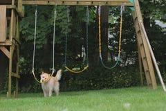 Psia kładzenie piłka na huśtawkach Obraz Royalty Free