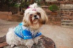 psia kostrzewiasta świątynia Obrazy Stock