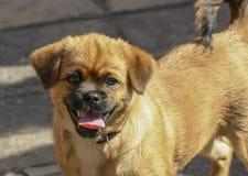 psia mała czerwień zdjęcie stock