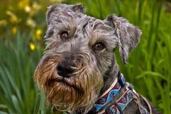 psia miniaturowego schnauzer położenia wiosna Fotografia Royalty Free