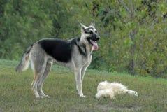 psia niemiecka baca zdjęcia royalty free