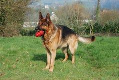 psia niemiecka baca Zdjęcia Stock