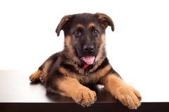 psia niemiecka baca Obraz Stock
