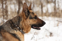 psia niemiecka baca Obrazy Stock