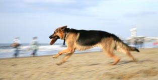 psia niemiecka baca Zdjęcie Royalty Free
