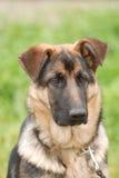psia niemieckiej shepherd szczeniak fotografia royalty free