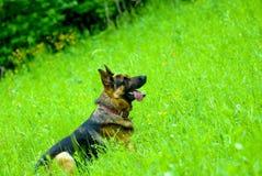 psia owczarek obrazy stock