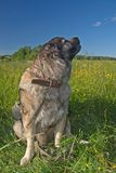 psia owczarek Obraz Royalty Free