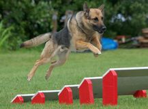 psia policja Fotografia Royalty Free