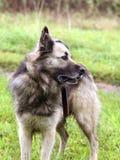 Psia pozycja na zielonej trawie Obraz Royalty Free