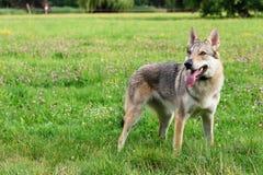 Psia pozycja w trawie Fotografia Royalty Free