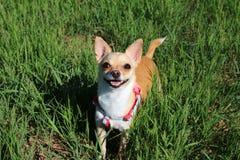 Psia pozycja w trawie Fotografia Stock
